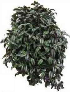 Oztorah blog archive wandering jew ask the rabbi - Wandering jew plant name ...